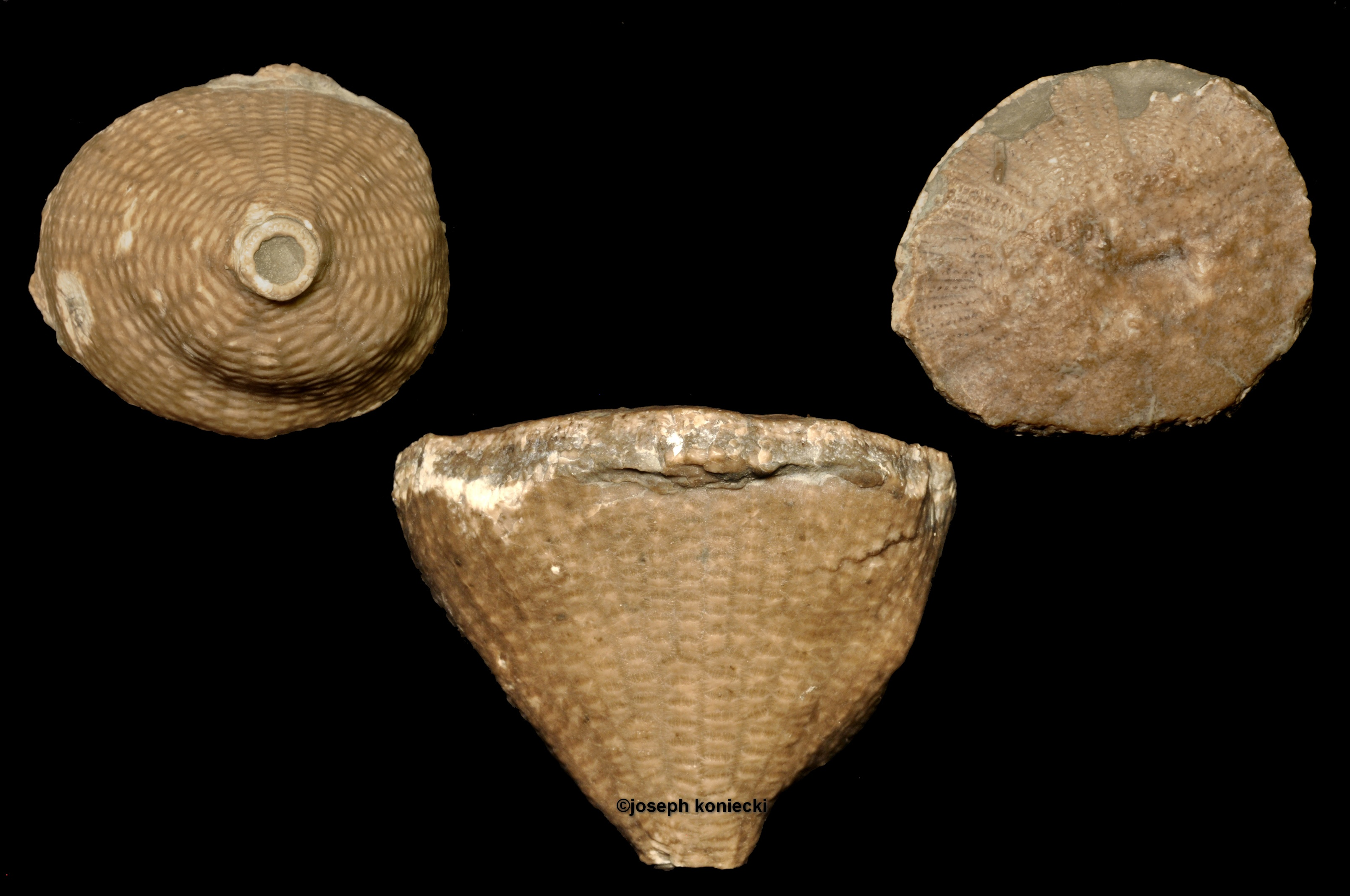 Cleiocrinus
