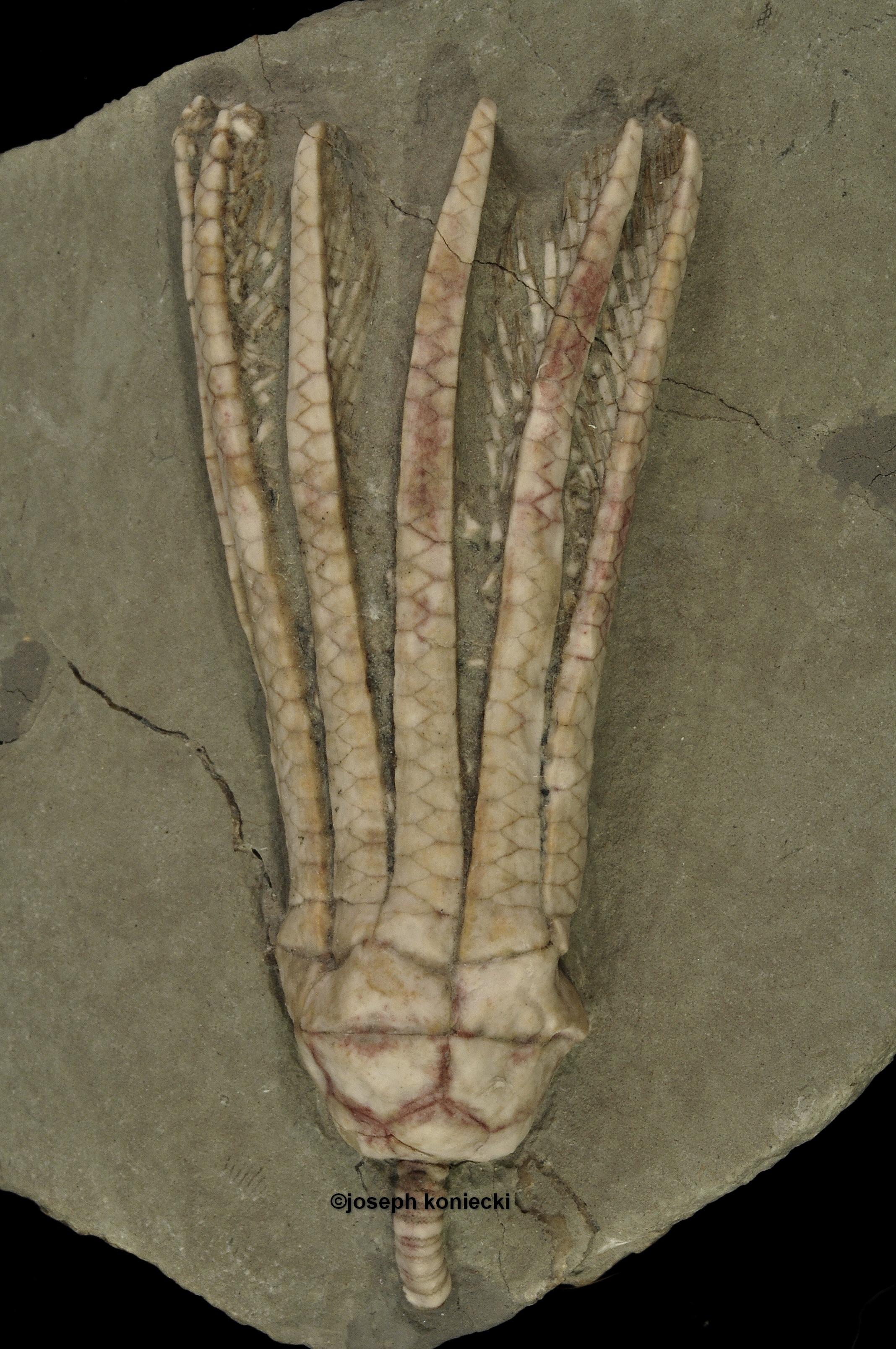 Erisocrinus