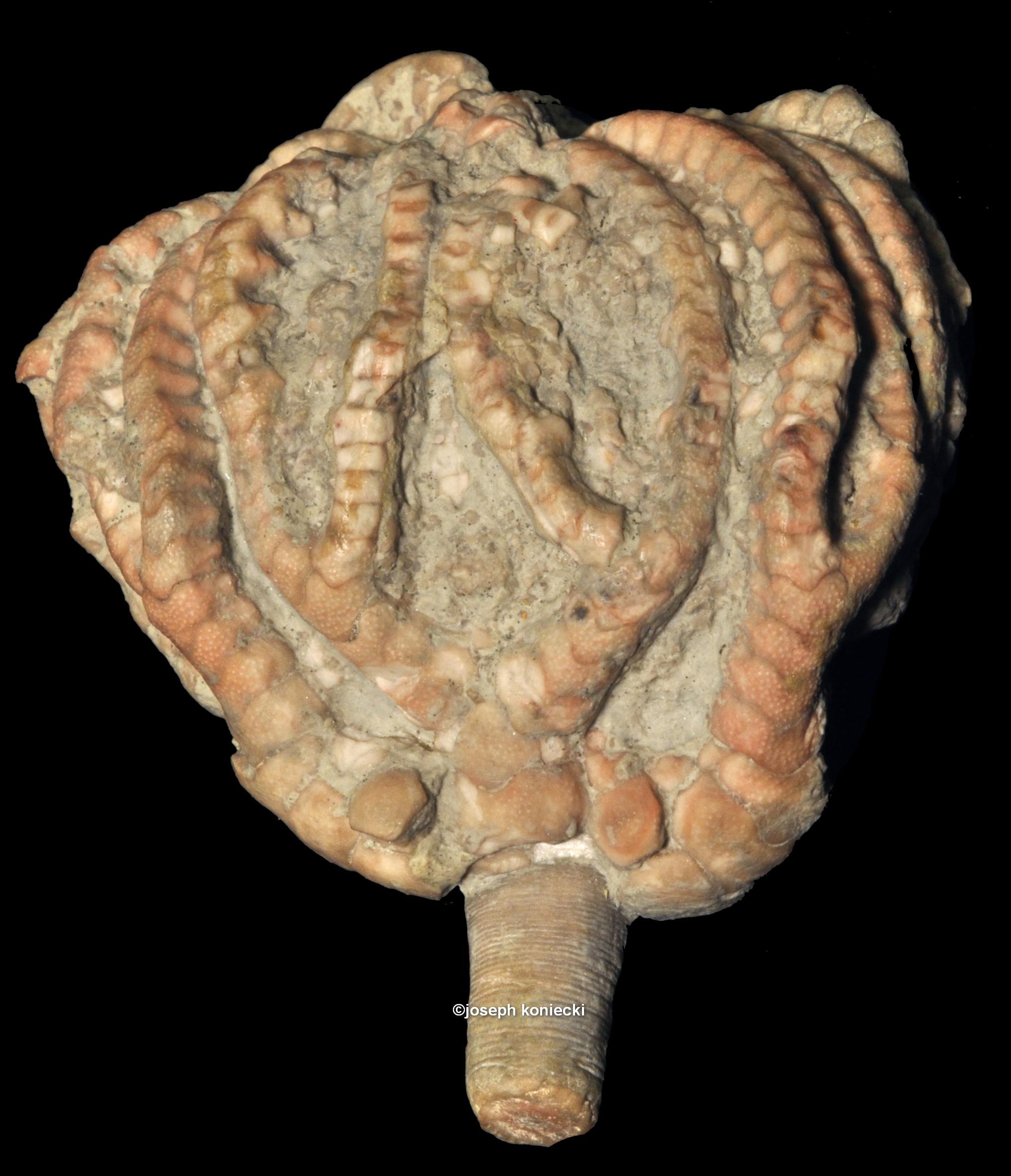 Euonychocrinus