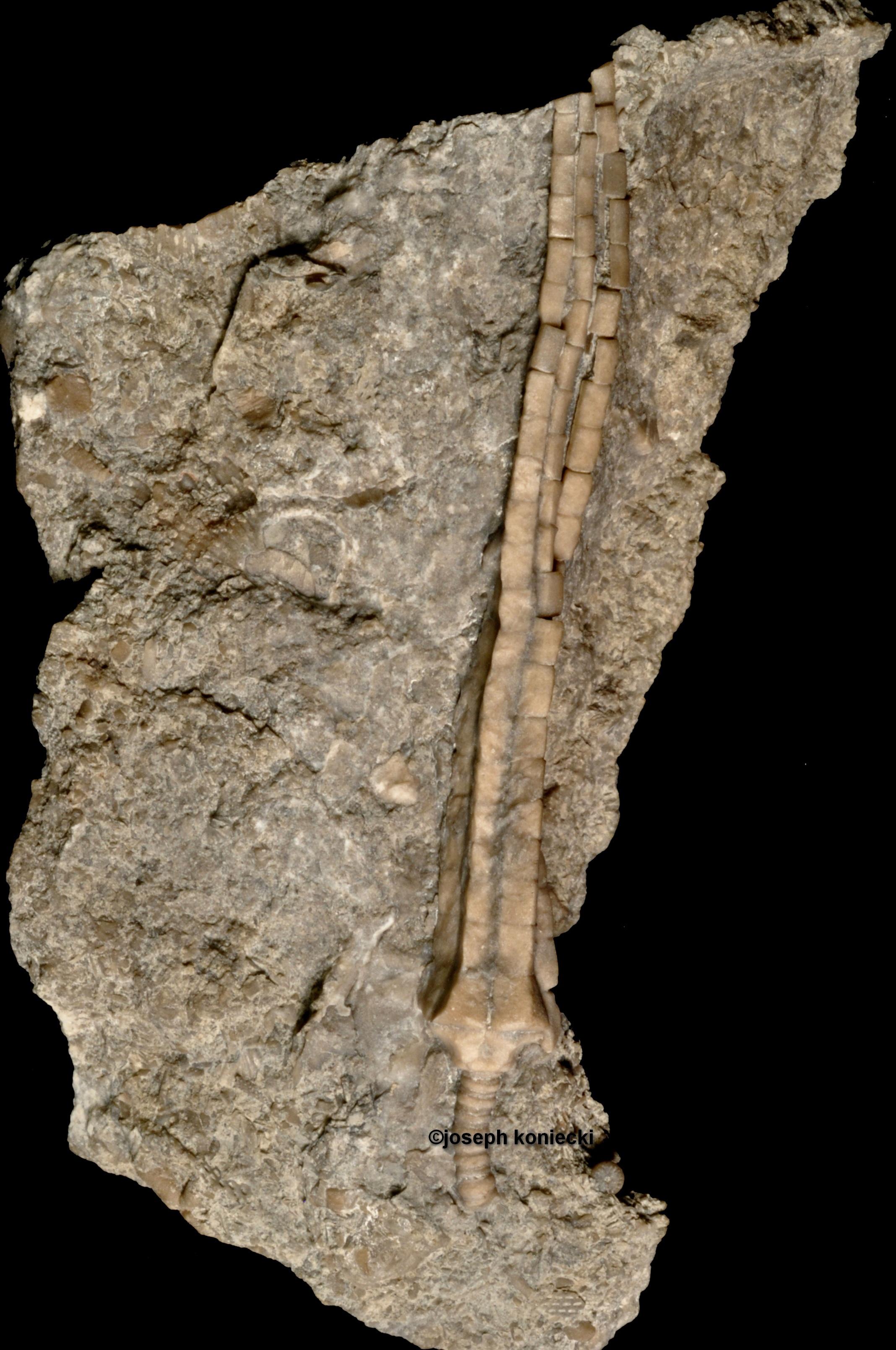 Synbathocrinus
