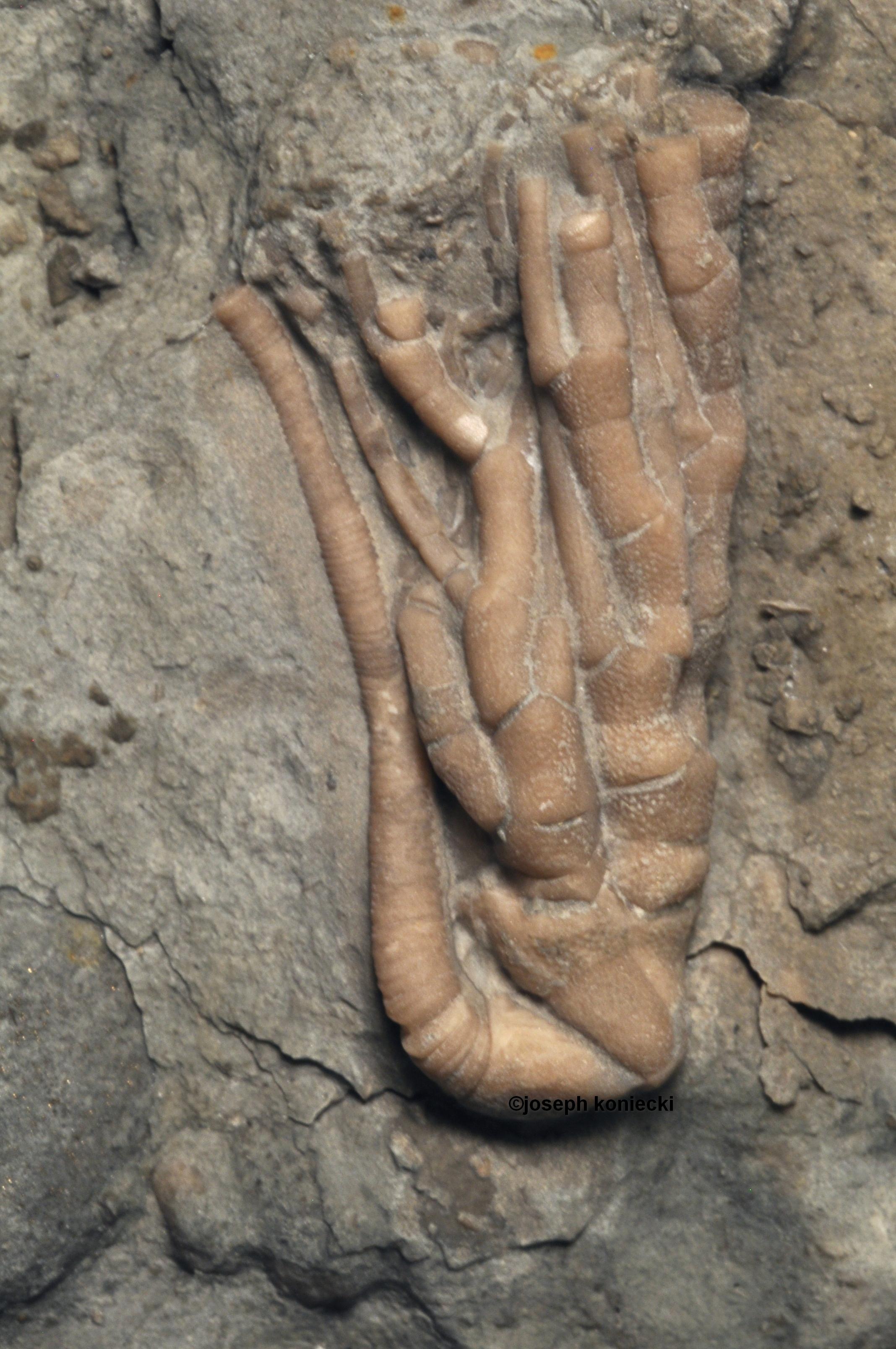 Cremacrinus