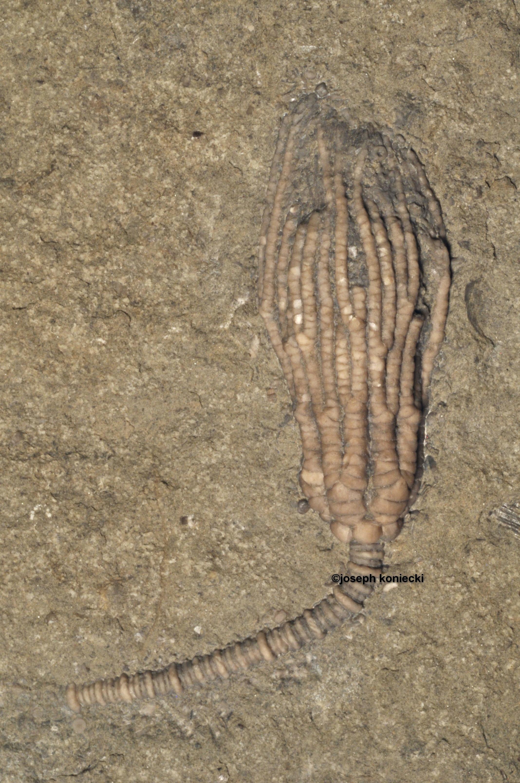 Hylodecrinus