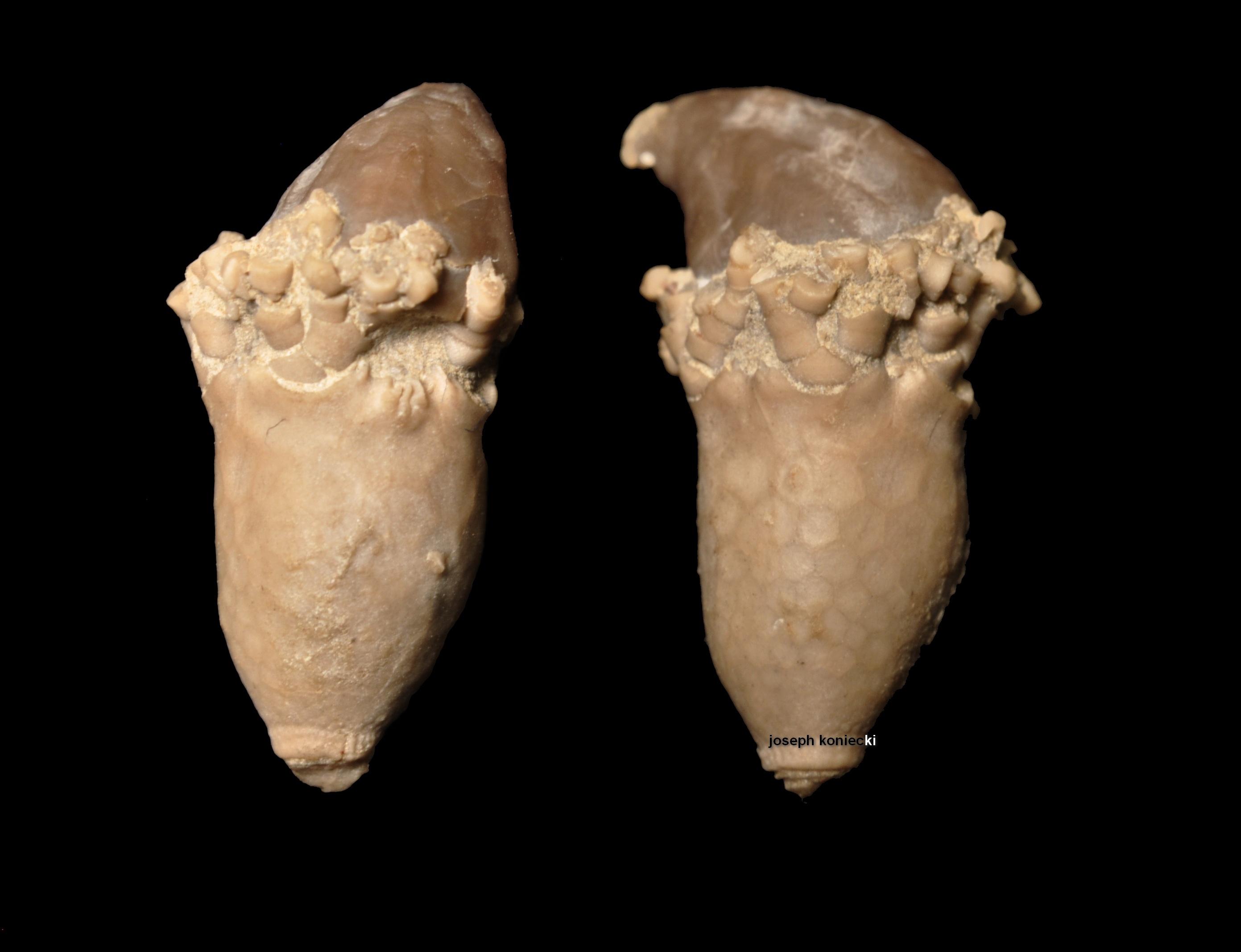 Acrocrinus
