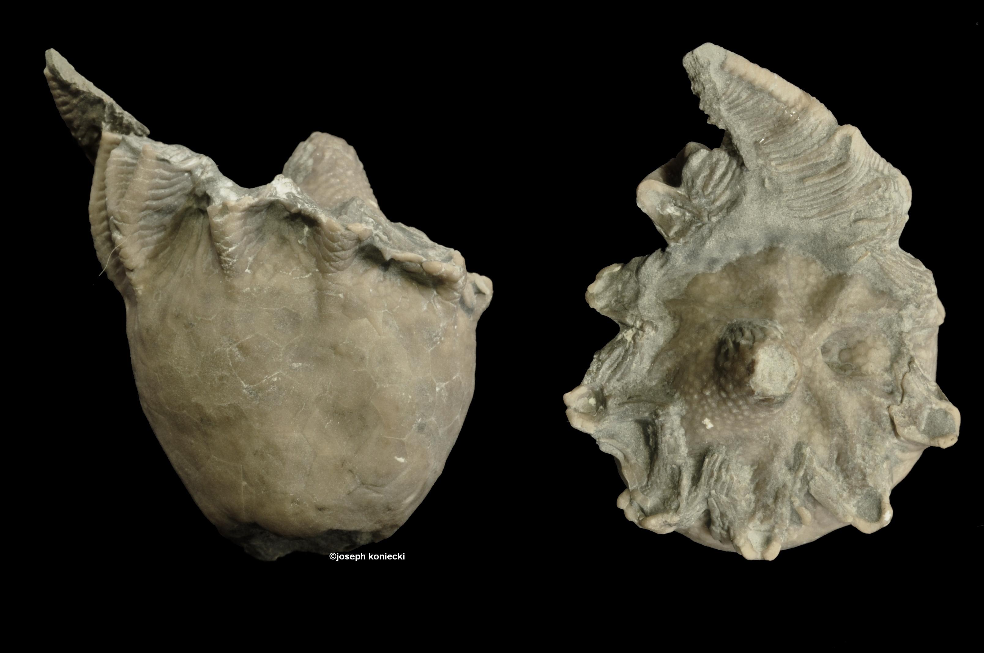 Archaeocrinus