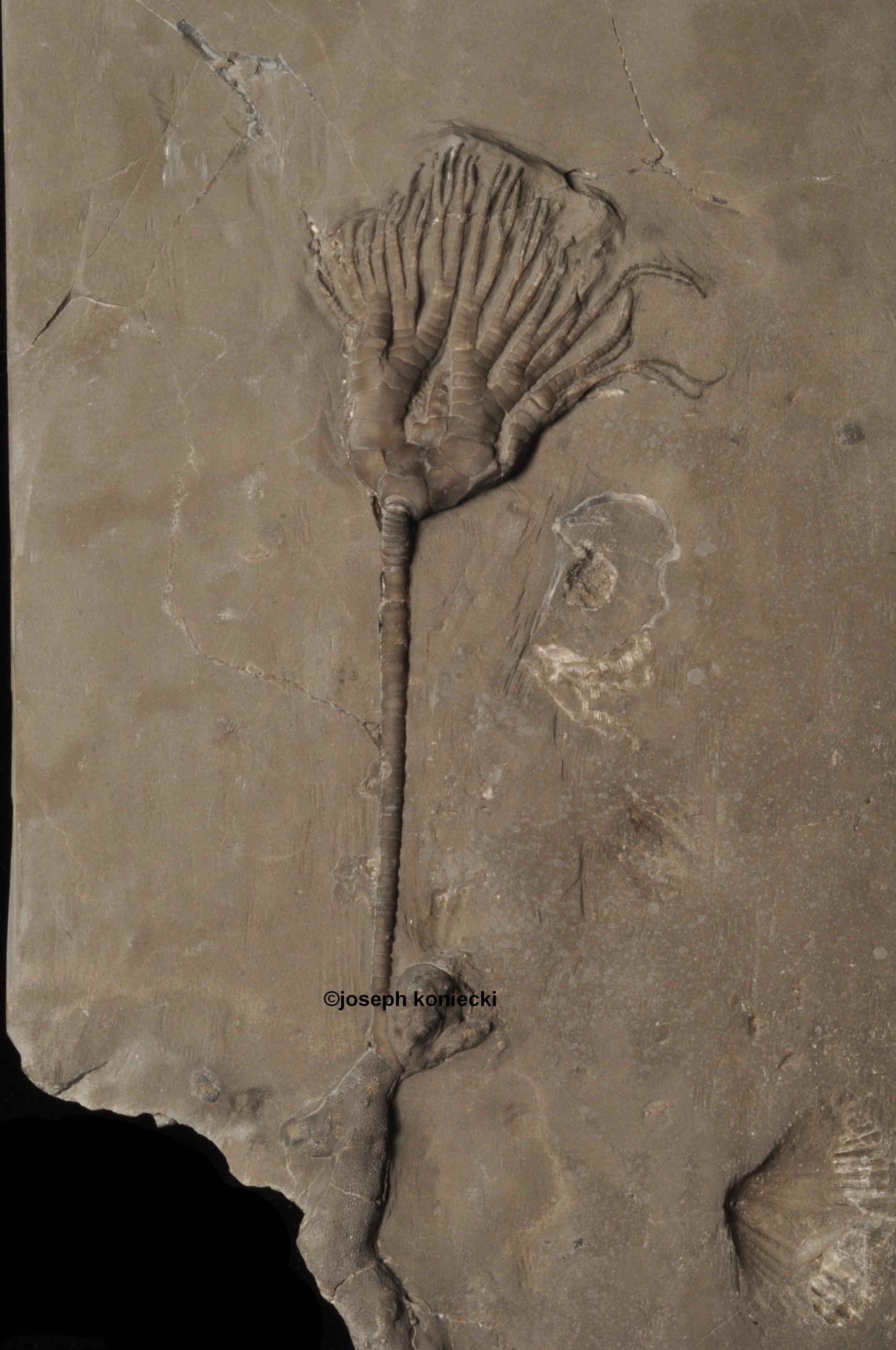 Asaphocrinus