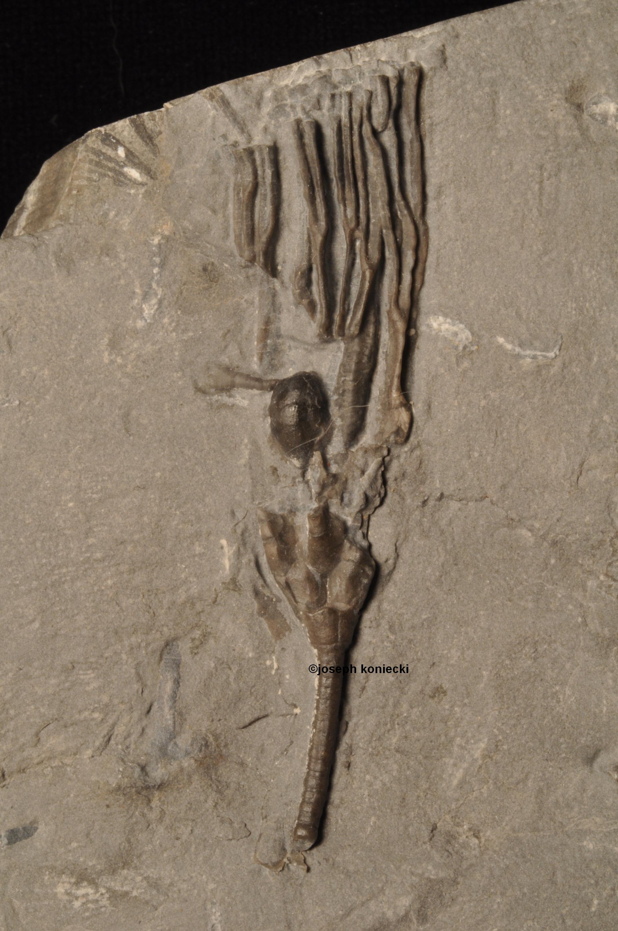 Dendrocrinus