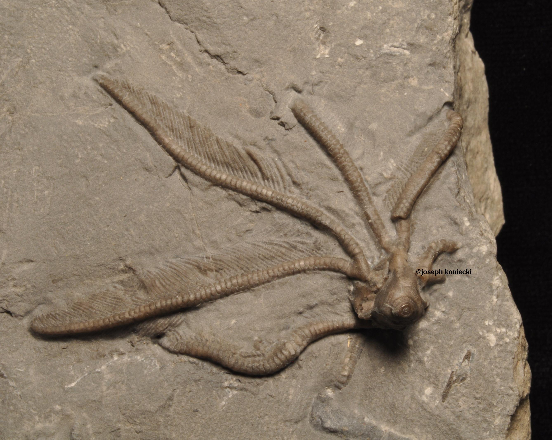 Macrostylocrinus
