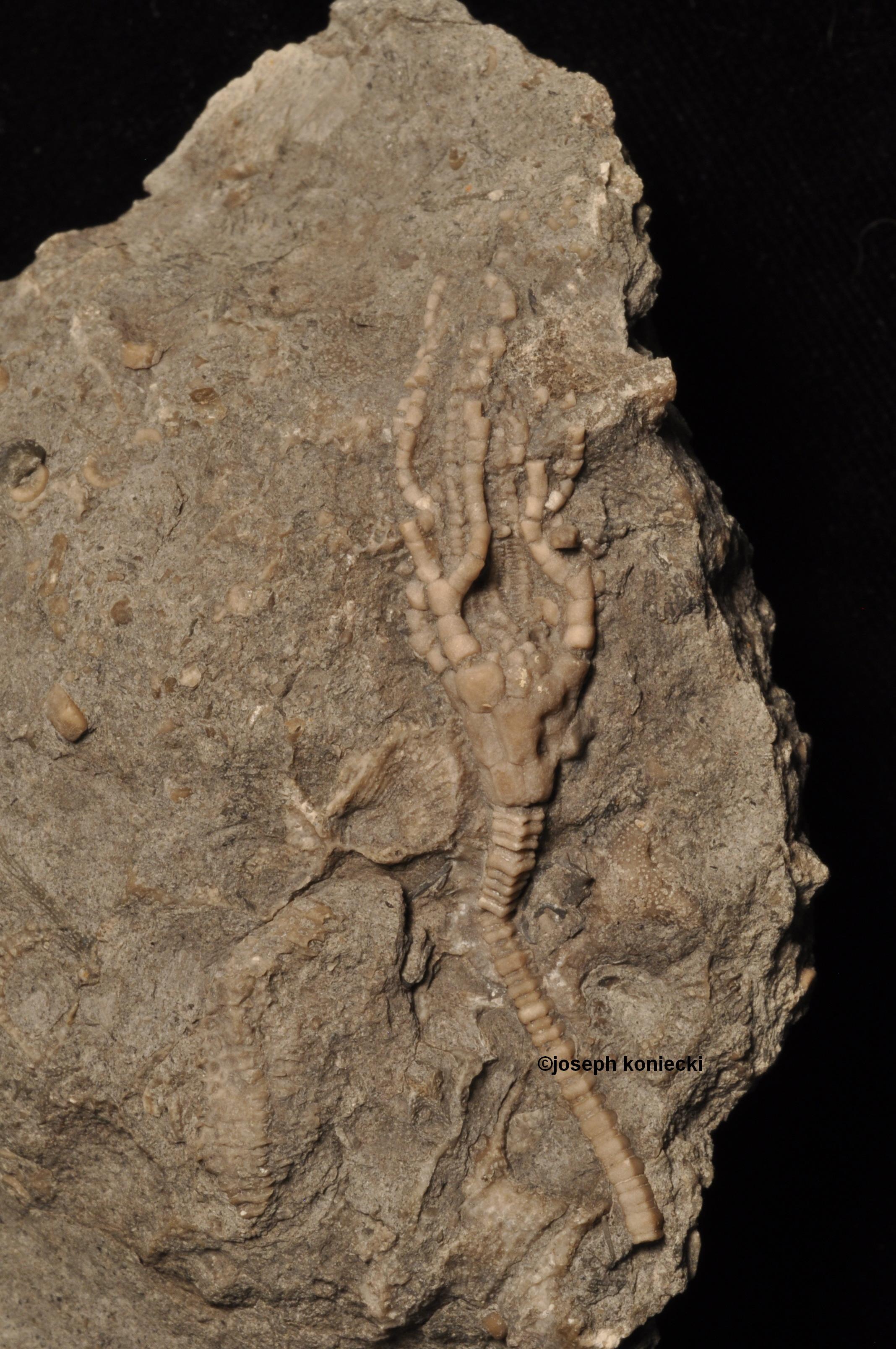 Atractocrinus