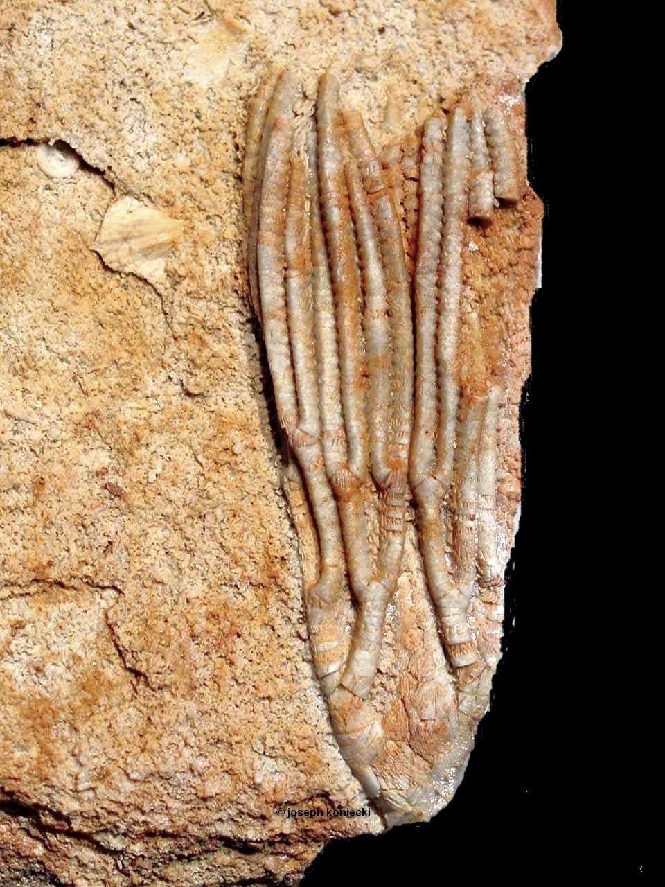 Blothrocrinus