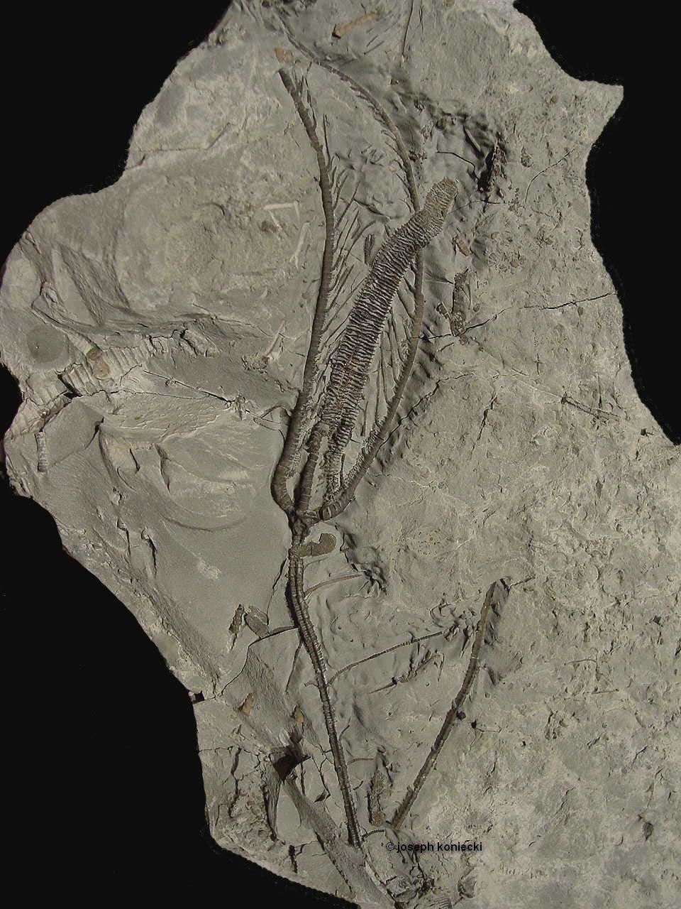 Decorocrinus