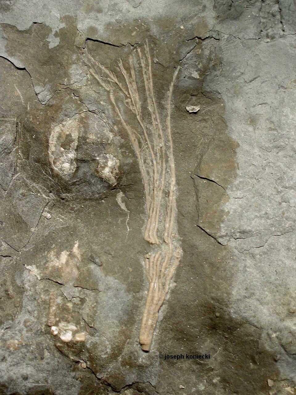 Eustenocrinus