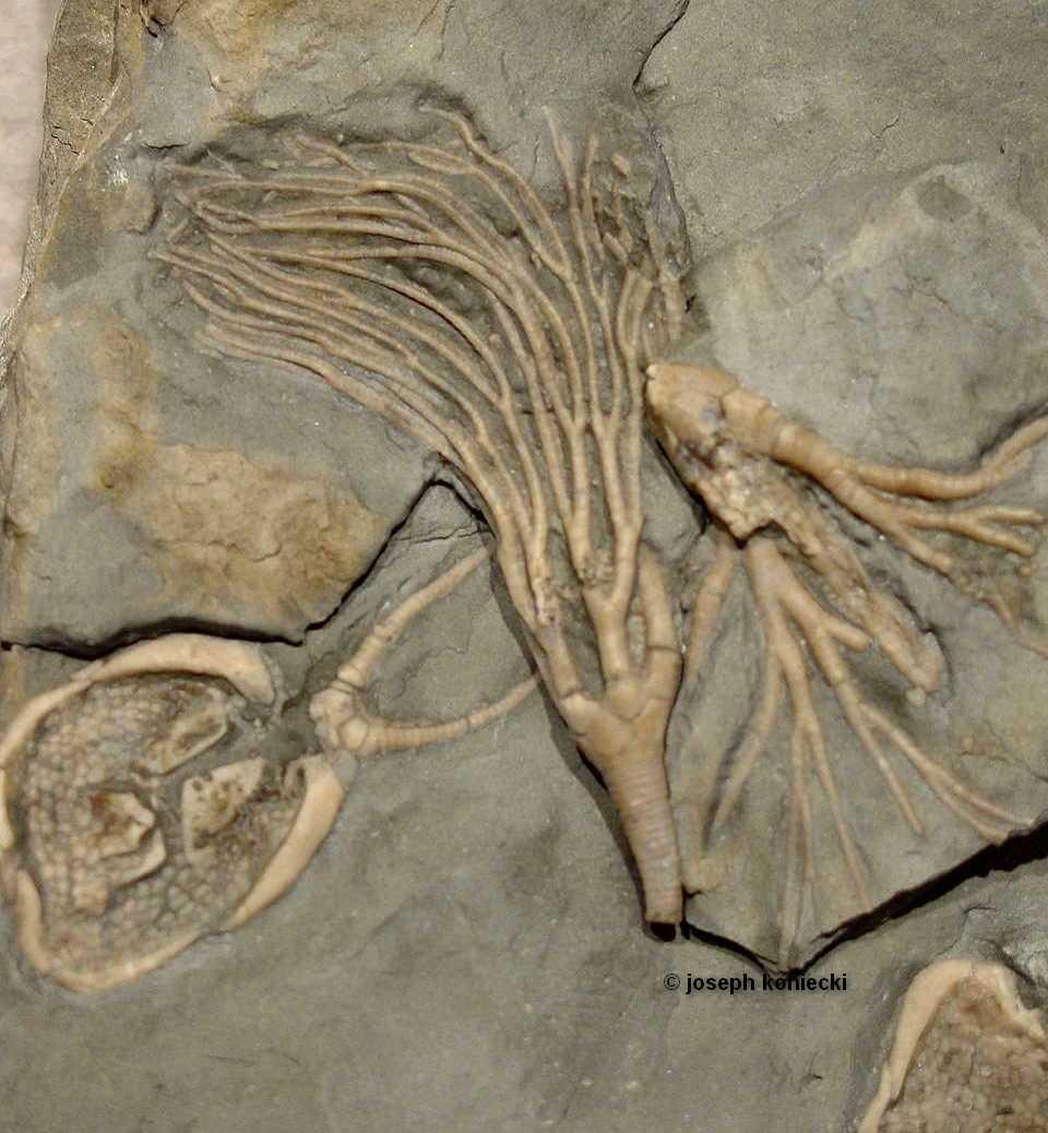 Praecupulocrinus