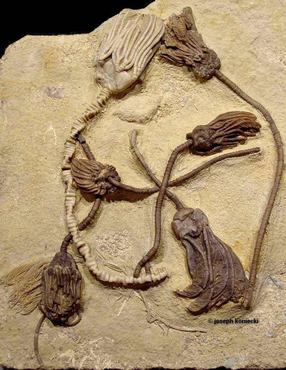 Rhodocrinites