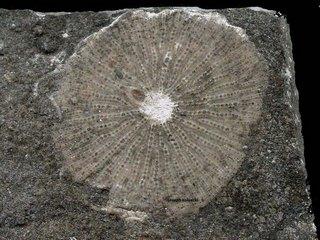 Astroporites