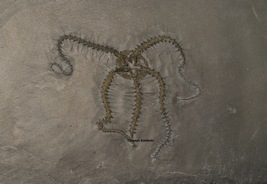 Eospondylus