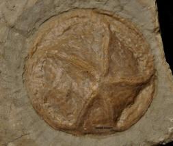 Hypsiclavus