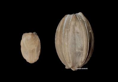 Eleutherocrinus