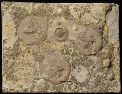 Belochthus