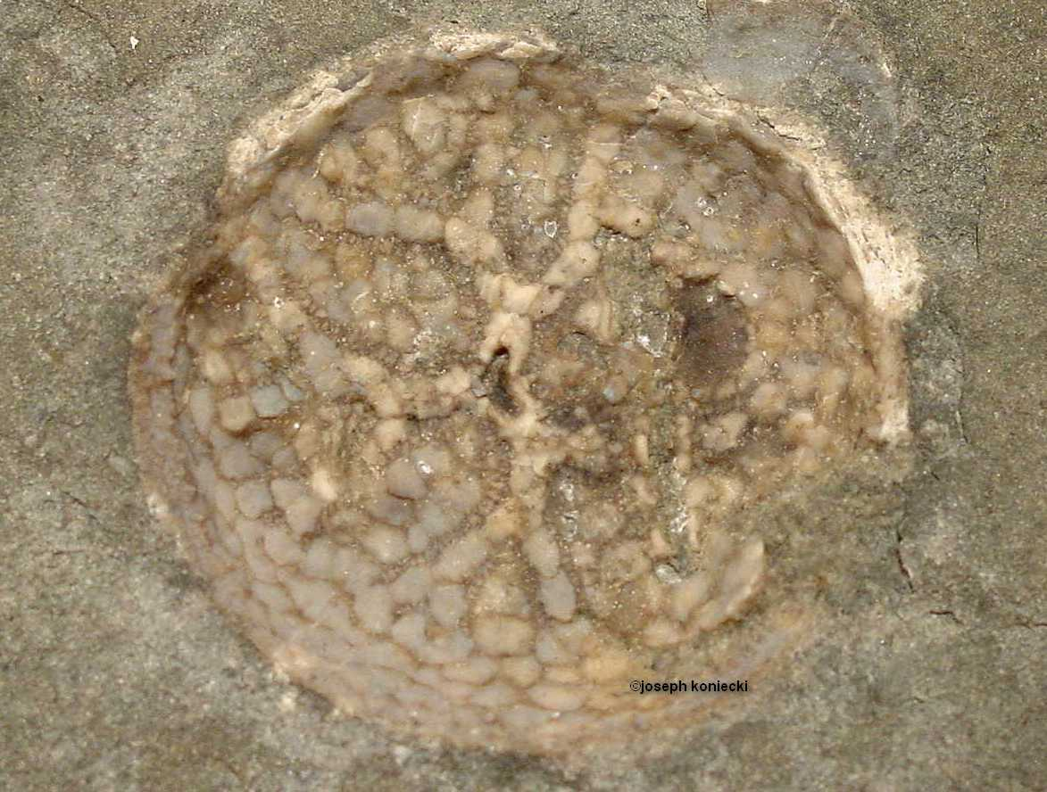 Thresherodiscus