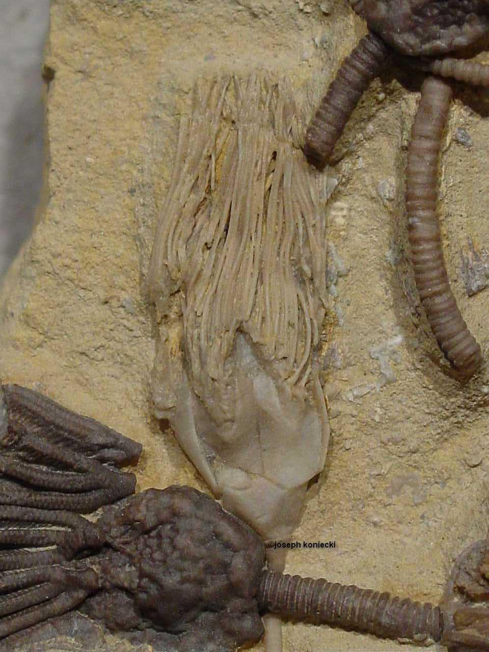 Pyramiblastus