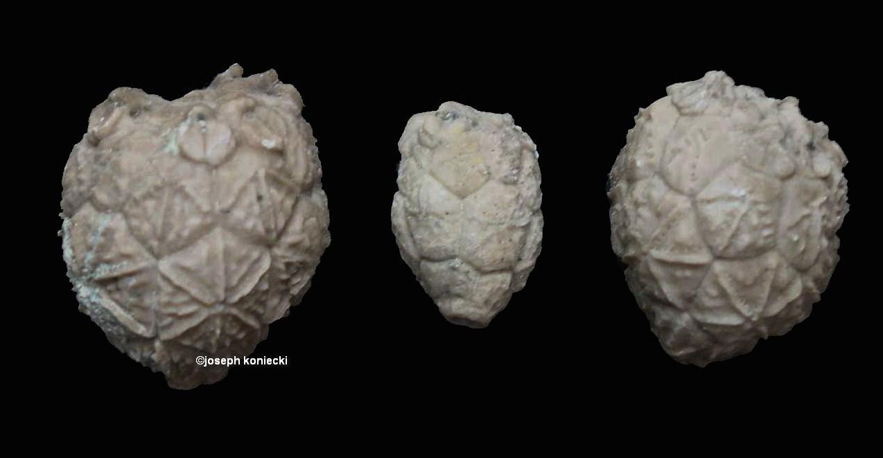 Caryocrinites