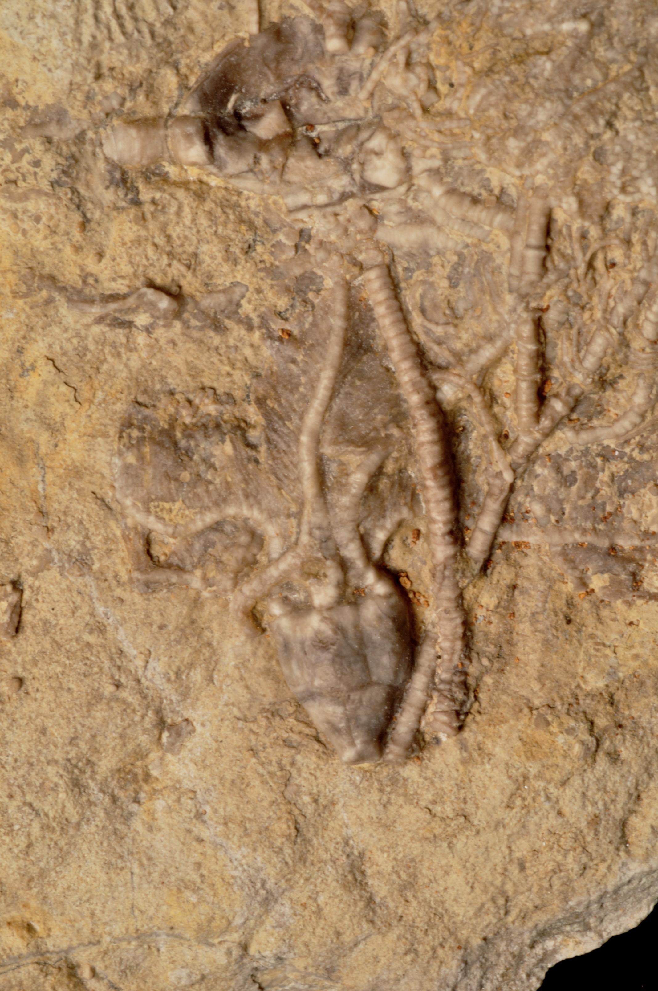 Dichocrinus