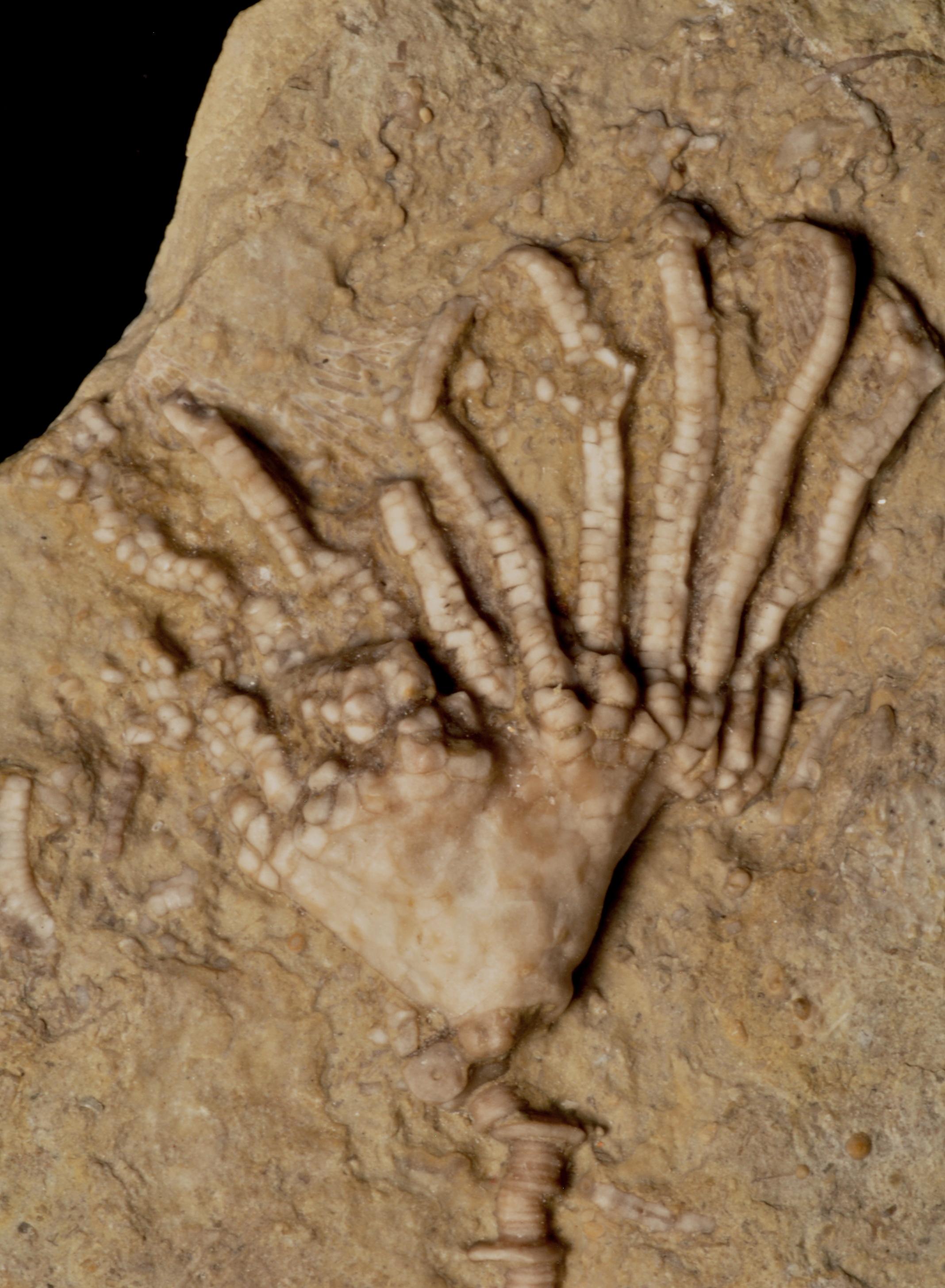 Eretomocrinus