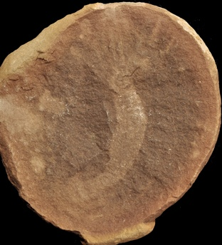 Flabelligeridae