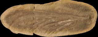 Mazonopterum
