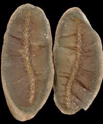 Lycopodites