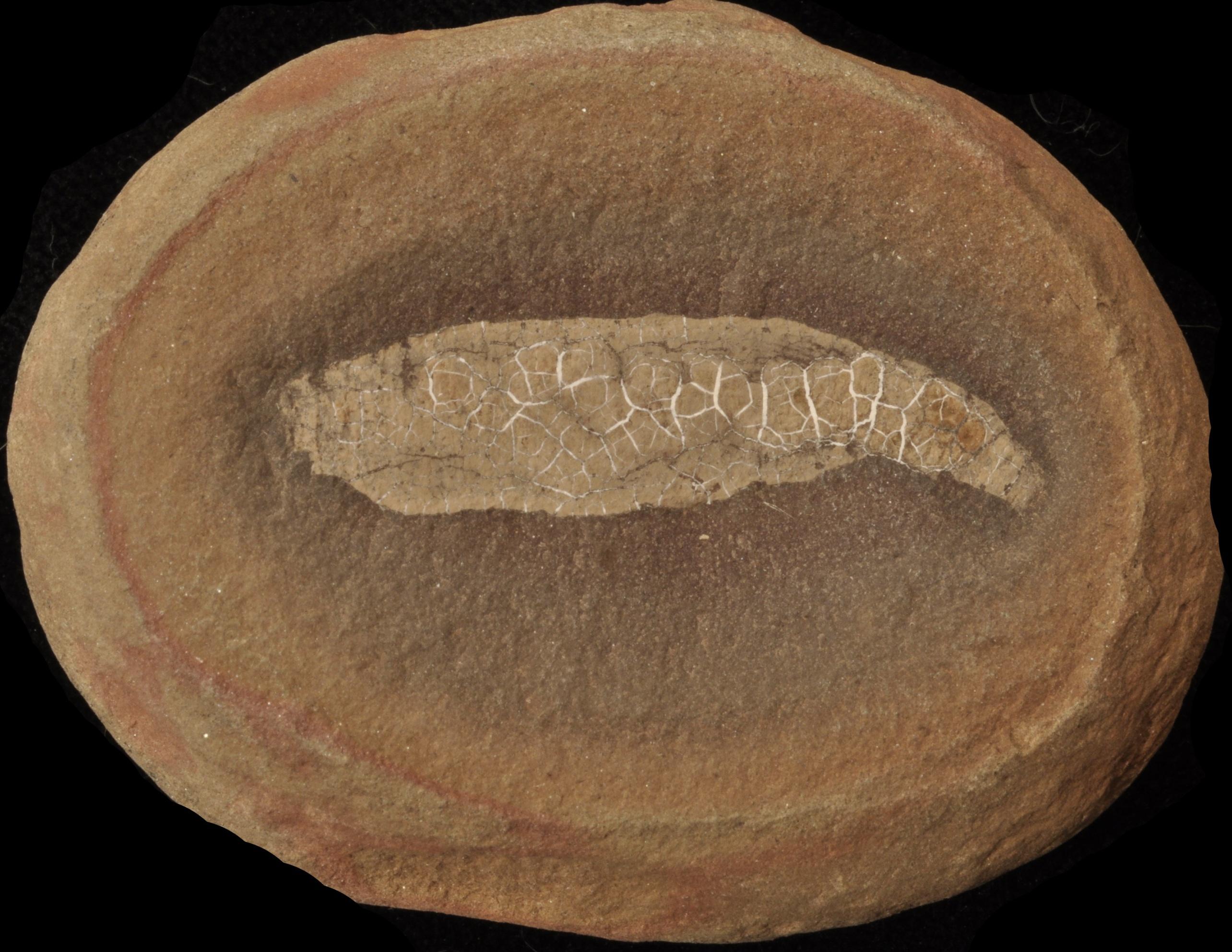Coprinoscolex