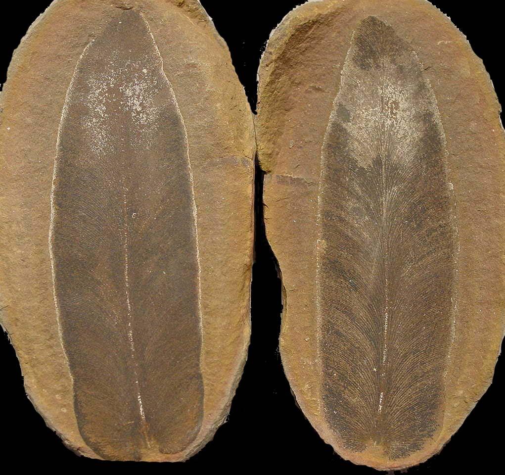 Macroneuropteris