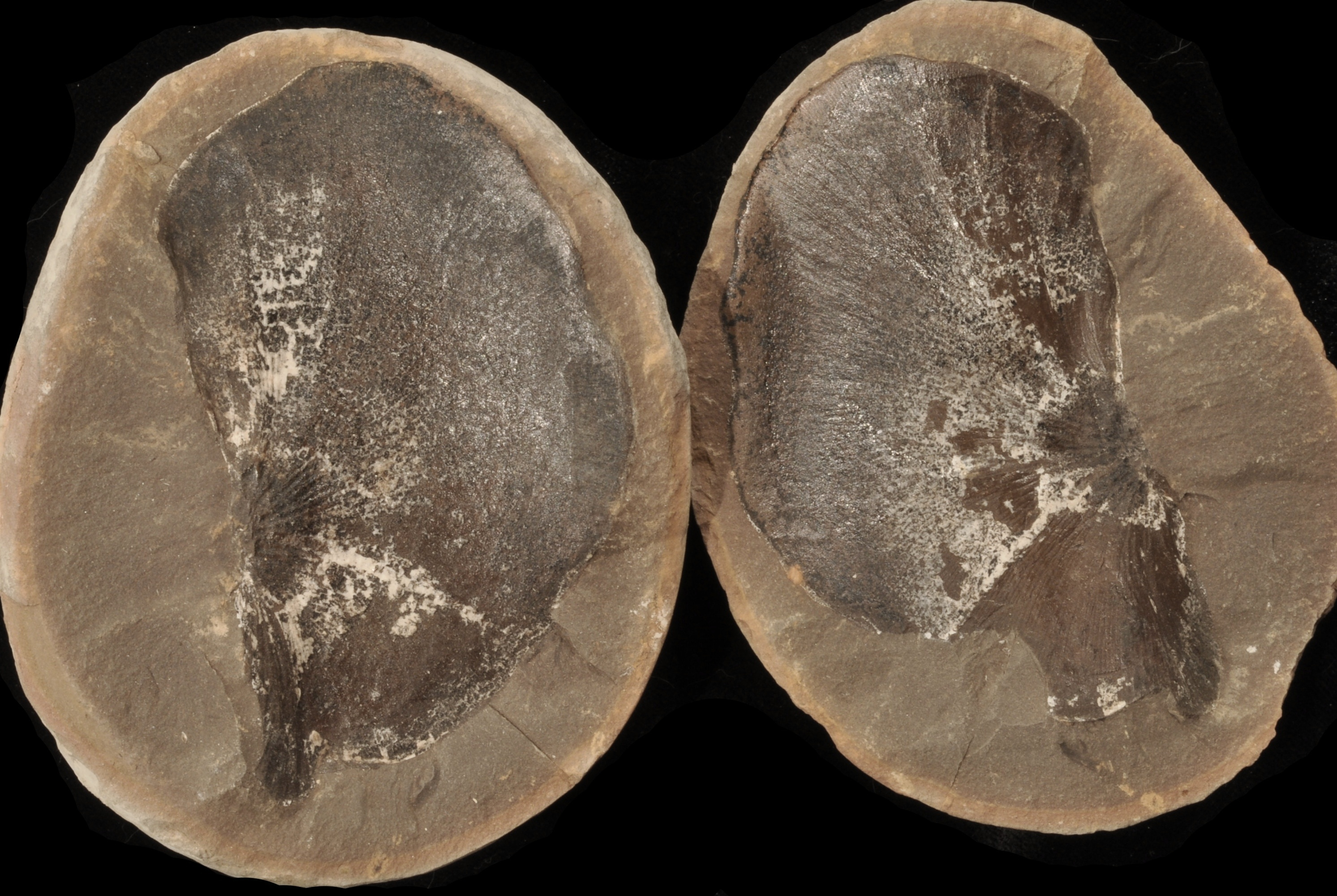 Neuropteris
