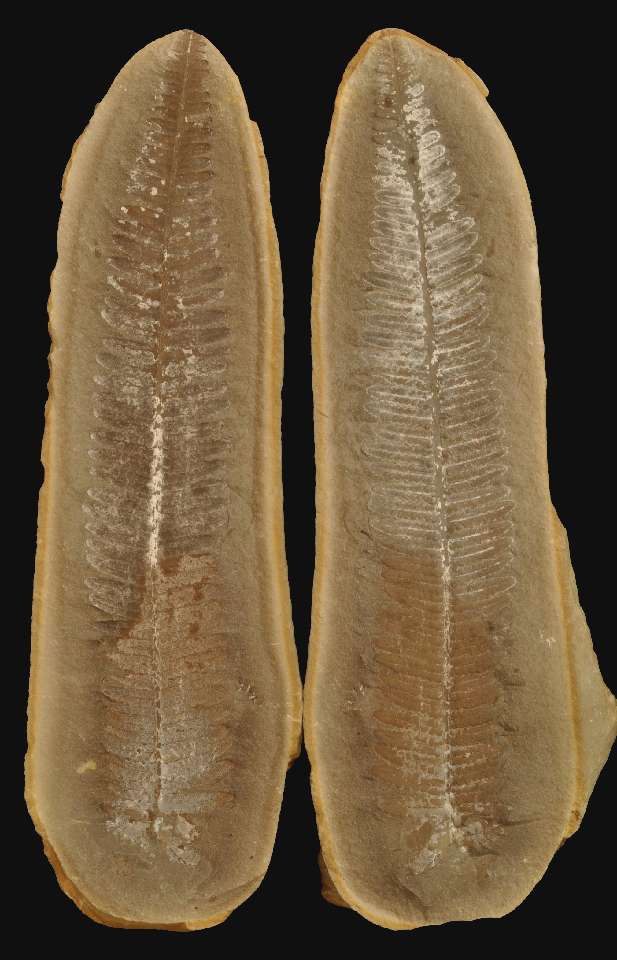 Lobatopteris