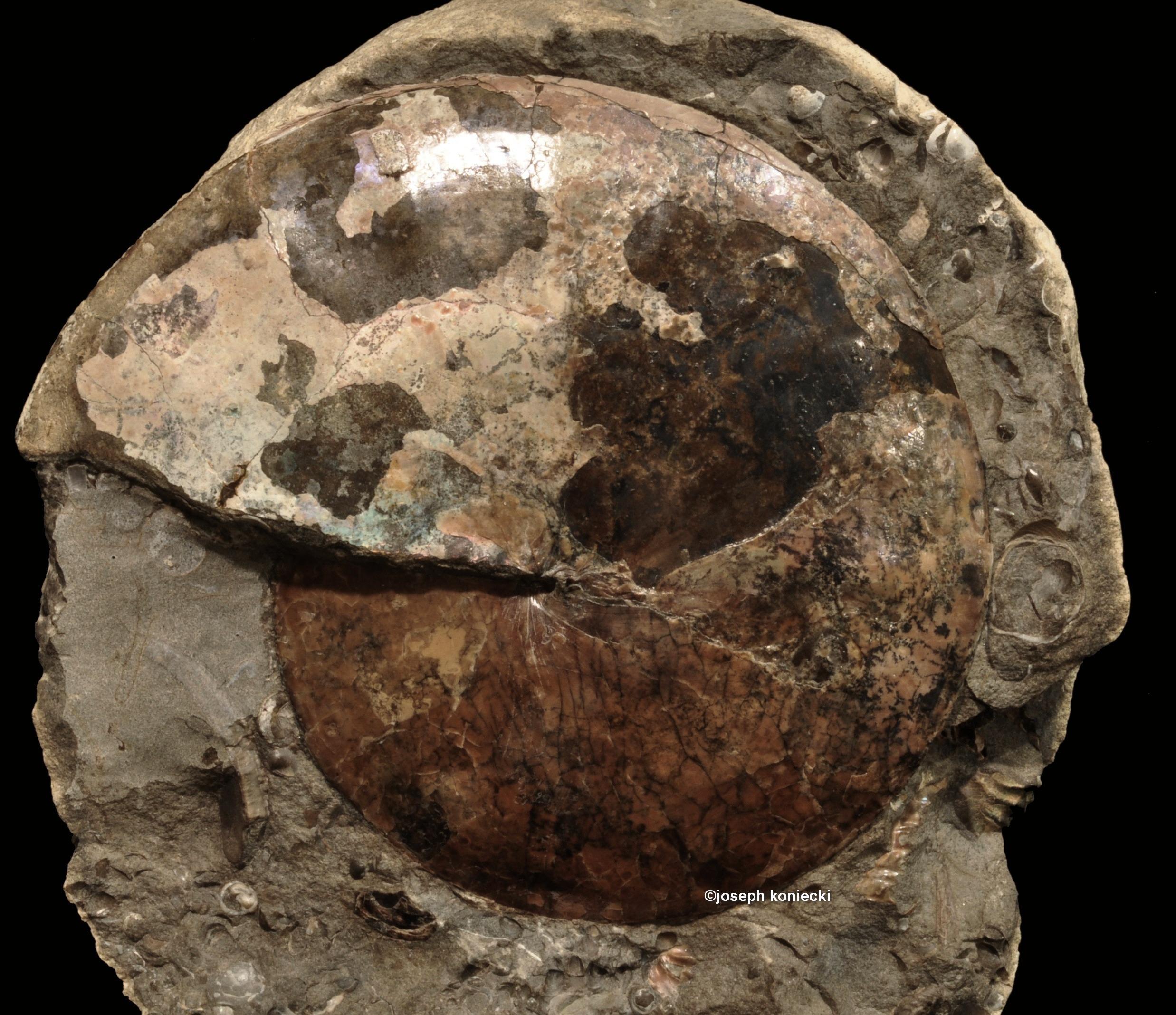 Sphenodiscus