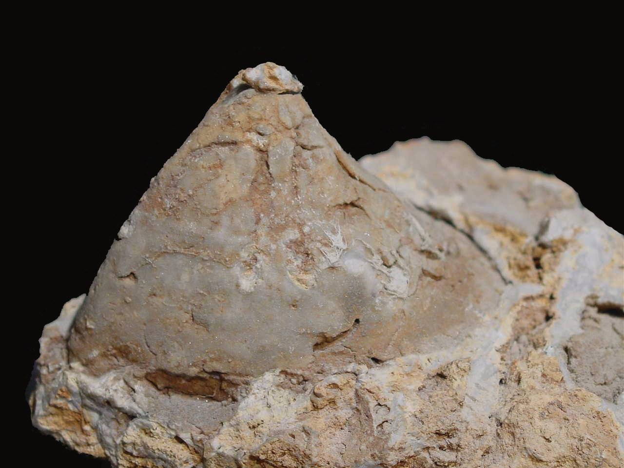 Gasconadeoconus