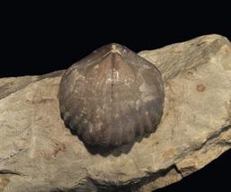 Sphaerirhynchia