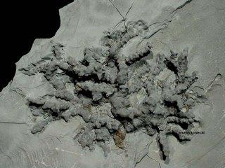Leptotryapella