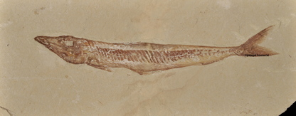 Prionolepis