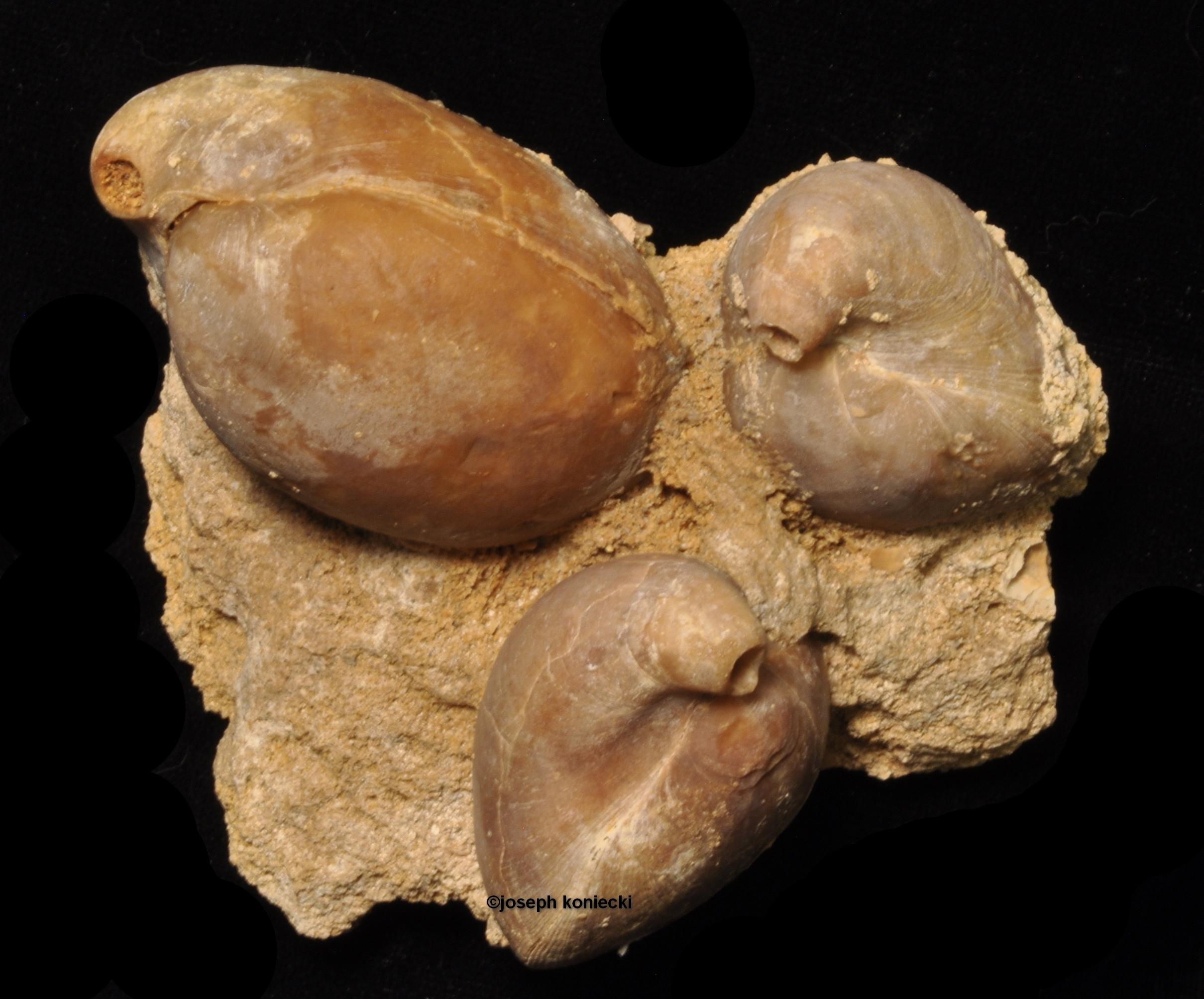 Austrothyris