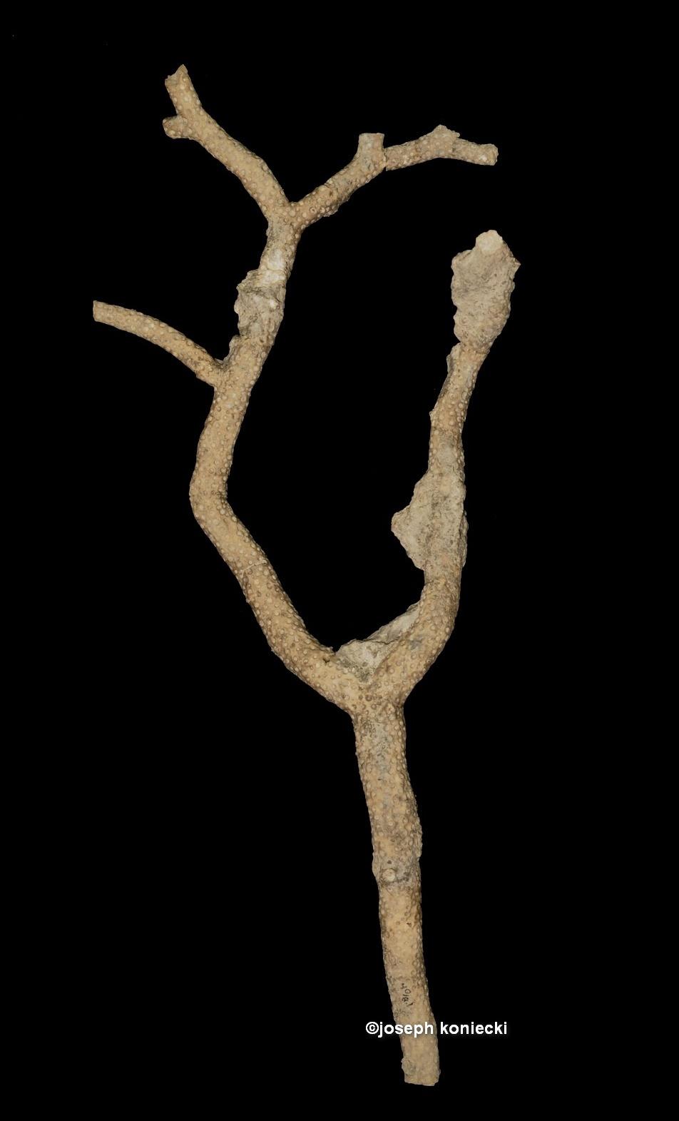 Trachypora