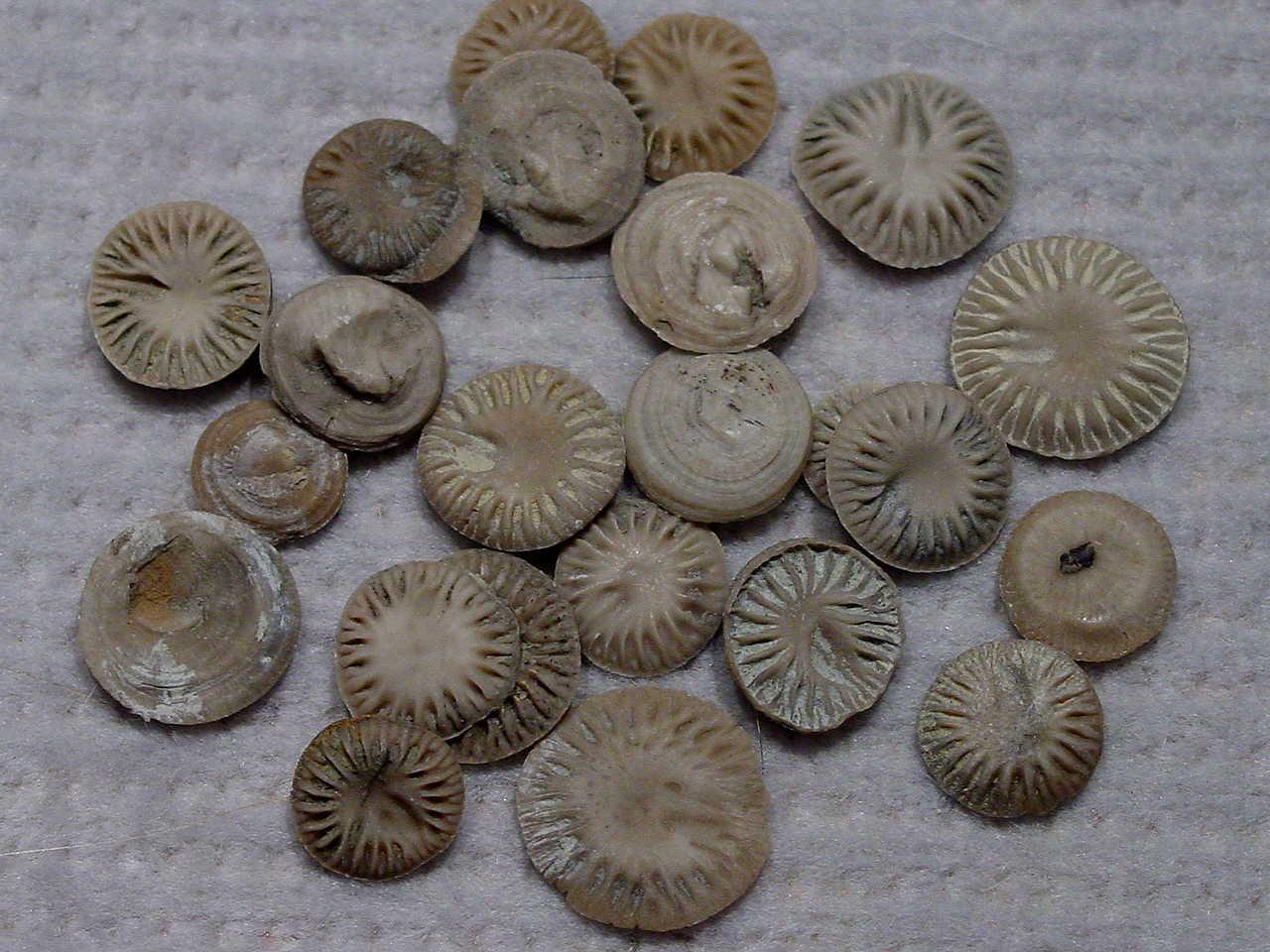 Microcyclus