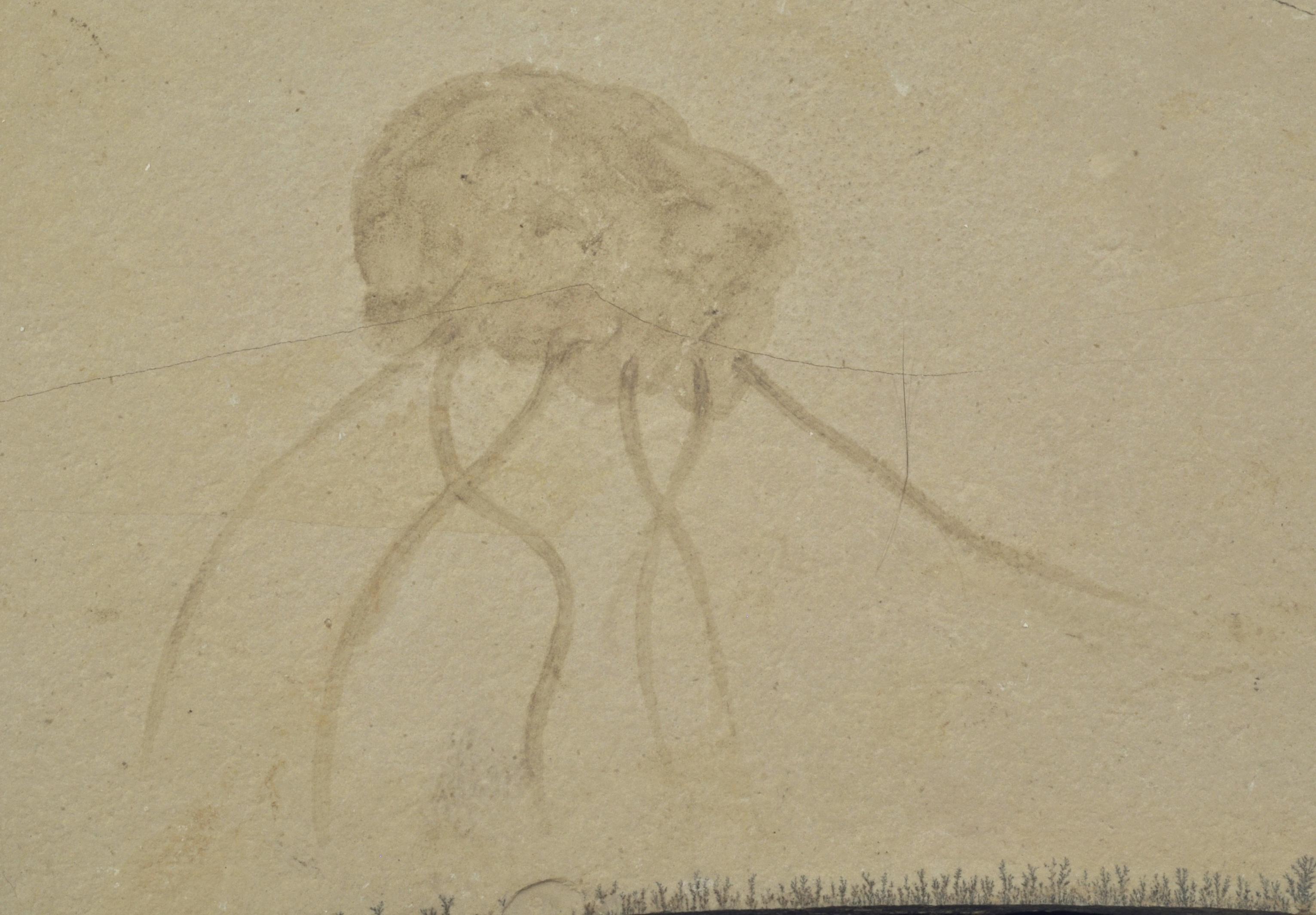 Semaeostomites
