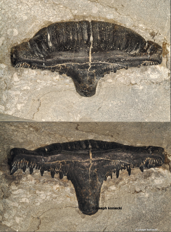 Cladodus
