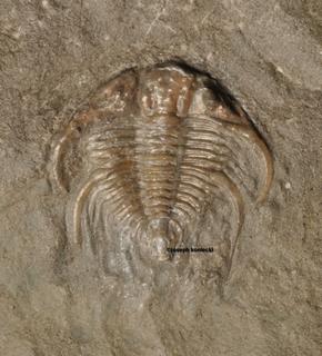 Cybeloides