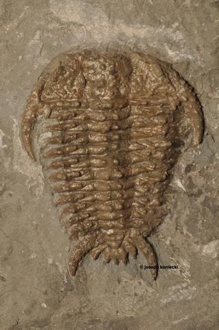 Bufoceraurus