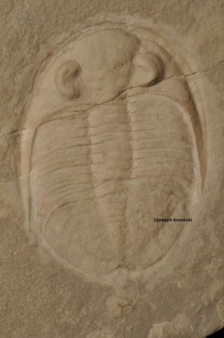 Dalmanitidae