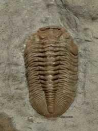 Calyptaulax