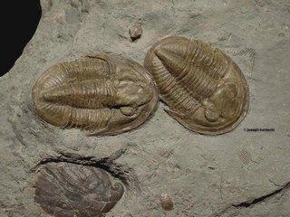 Pseudodechenella