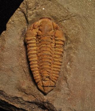 Colpocoryphe